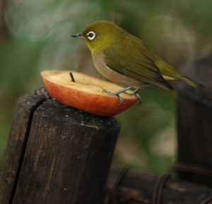 japanese_white_eye_mejiro