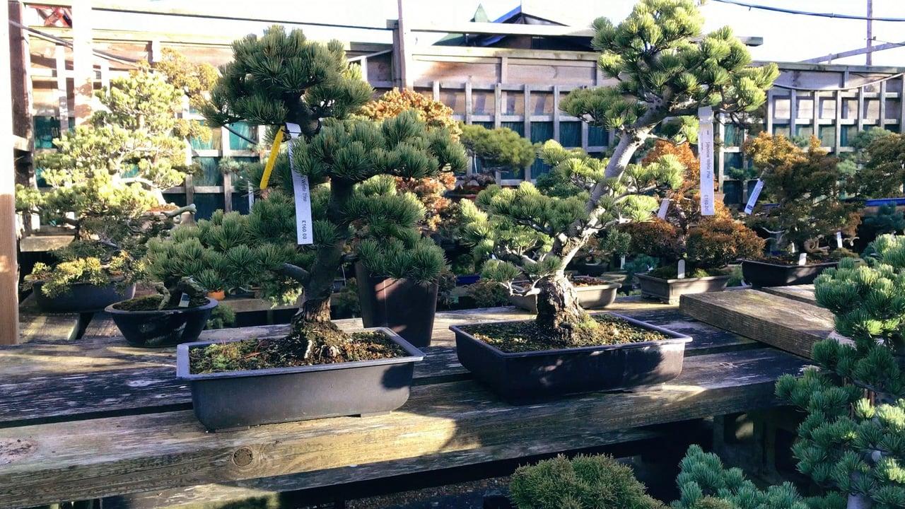 Bonsai Boom Verzorgen : Bonsai boom in bak katern: japan